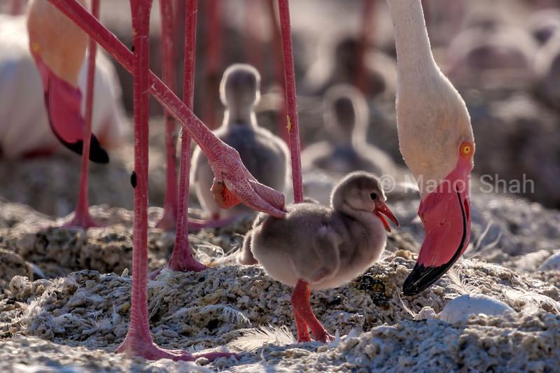 Flamingo mother with new born chick and egg  at Lake Natron, Tanzania