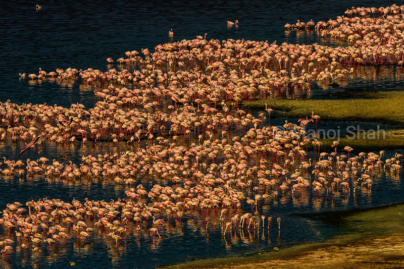 Aerial view of flamingo mass om Lake Bogoria shore.