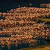 Aerial view of flamingo mass om Lake Bogoria shore.
