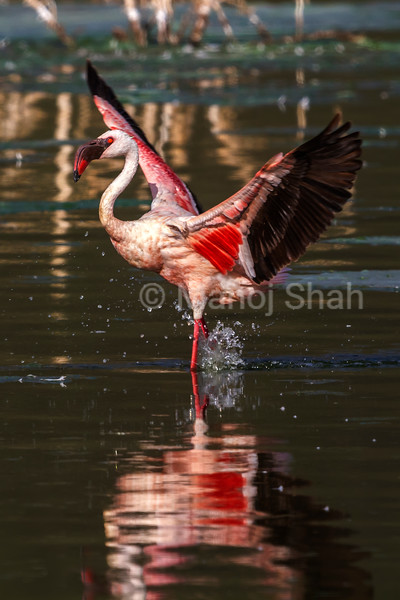 Greater flamingo displaying its wings in Lake Bogoria.