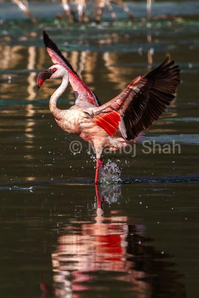 Greater flamingo displaying its wings in Lake Bogoria.