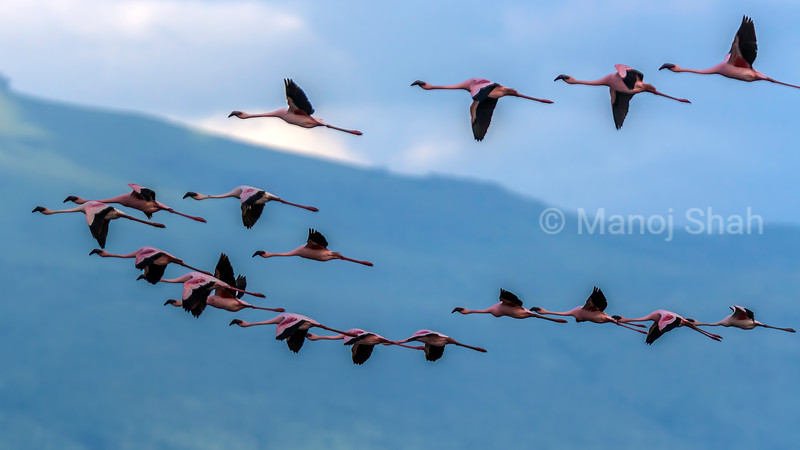 Lesser flamingos flying over Lake Natron.