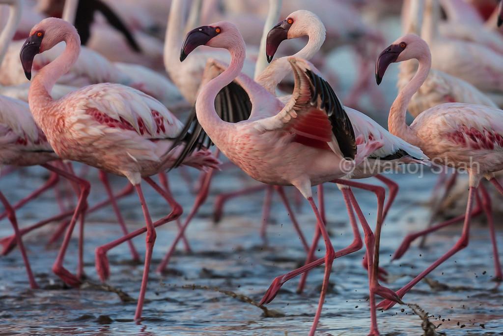 Lesser flamingo displaying wings at Lake Bogoria