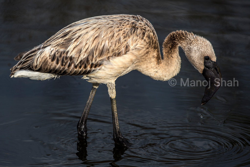 Lesser Flamingo youngster feeding