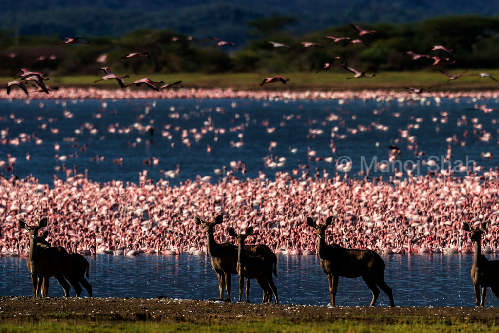 Greater Kudus and flamingos at Lake Bogoria