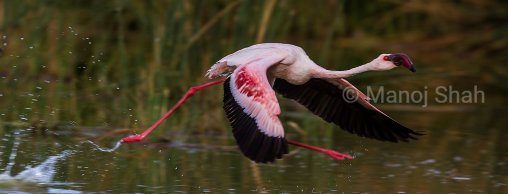 Lesser flamingo running on water