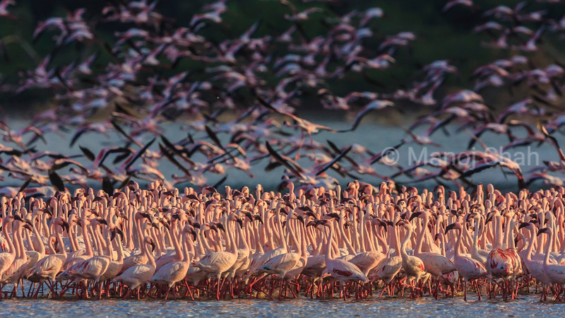 Lesser flamingos in massive flock at Lake Bogoria