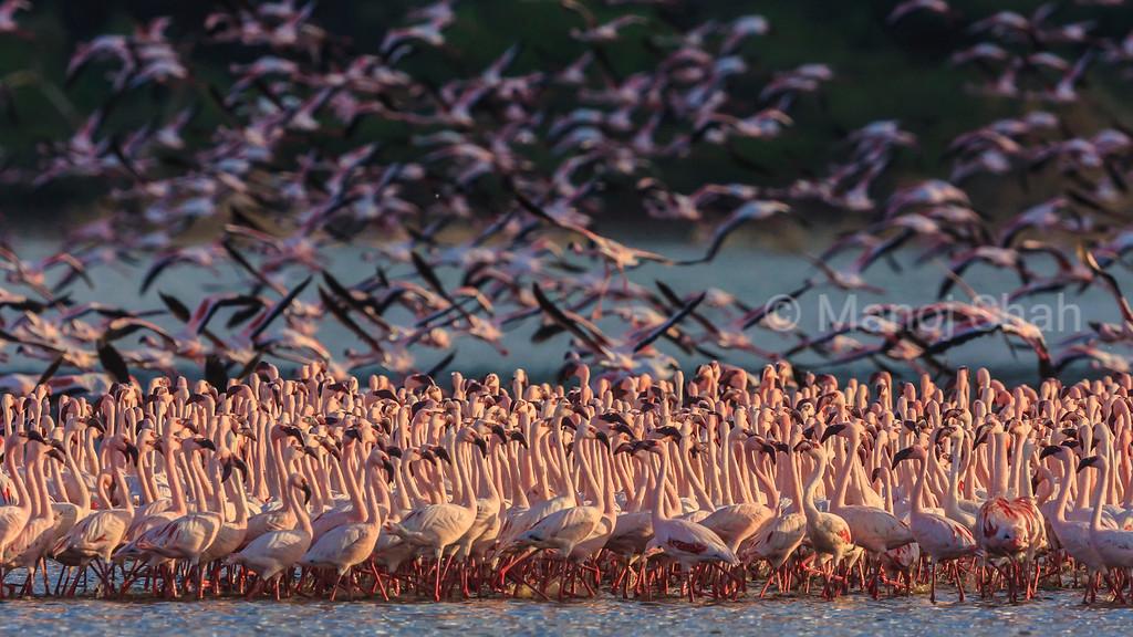 Lesser flamingos in massive flock at Lake Bogoria