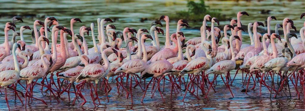 lesser flamingos in Lake Bogoria