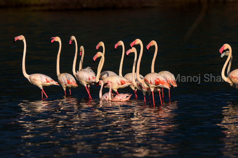 Greater flamingos in Lake Bogoria waters.