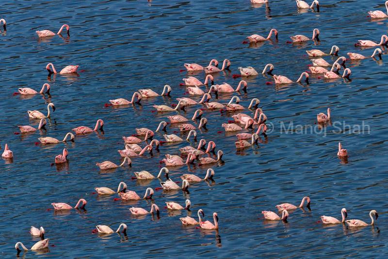 Aerial view o flamingo masses om Lake Bogoria shore.