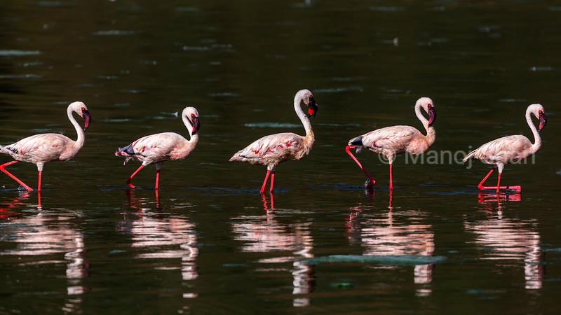 Lesser flamingos walking at lake Bogoria shoreline.