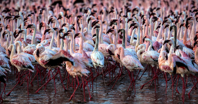 Lesser Flamingos moving in mass