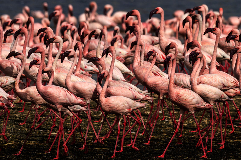 Lesser Flamingos moving in masse together with a few Greater flamingos