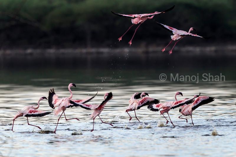 lesser flamingos at Lake Bogoria.