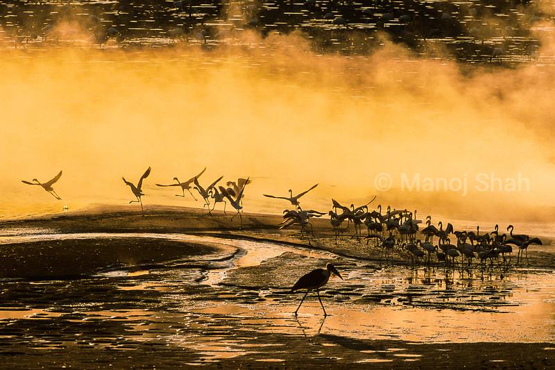 Marabu stork walikg past lesser flamingos early morning on Lake Nakuru