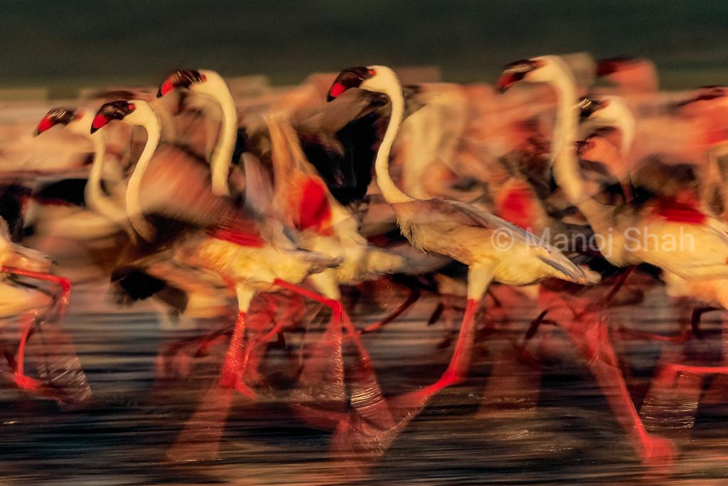 Greater flamingos running on Lake Nakuru shore, Kenya