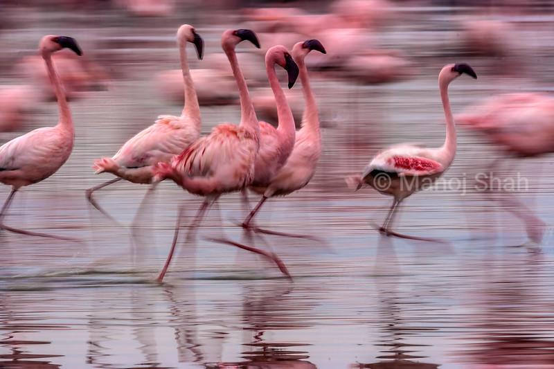 Greater and Lesser flamingos running in Lake Naruru, Kenya.