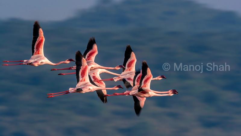 Lesser Flamingos in flight over Lake Nakuru in Lake Nakuru National Park, Kenya