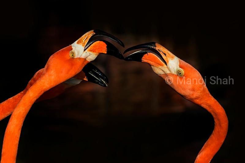 flamingos play