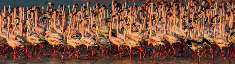 Lesser flamingos at Lake Bogoria shore