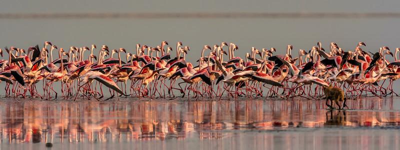 Golden Jackal tries to hunt a flock of feeding flamingos at Lake Natron,Tanzania.