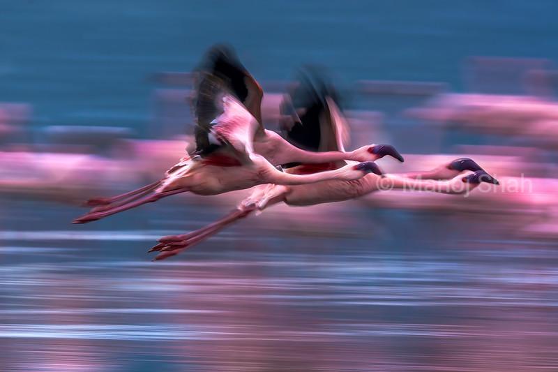 Flamingos in flight over Lake Nakuru, Kenya
