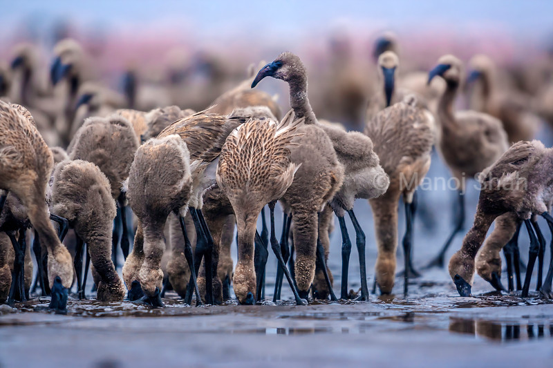 Flamingo chicks feeding on algae at the alkaline waters of Lake Natron, Tanzania.
