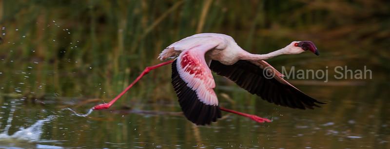 Lesser flamingo running on water