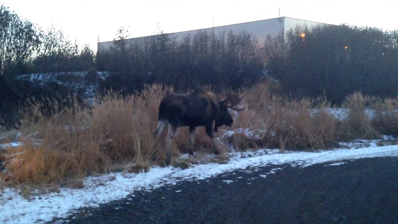 Shhhh, a huge moose!