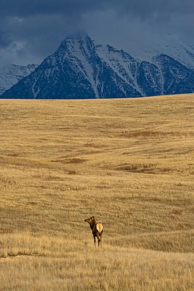 Elk on a Mission St. Ignatius, Montana
