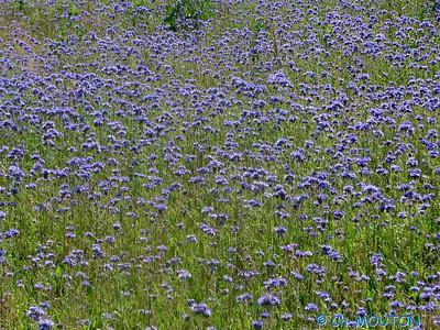 Chardon bleus 13 C-Mouton