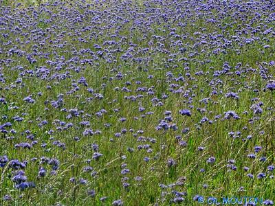 Chardon bleus 12 C-Mouton