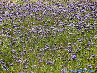 Chardon bleus 10 C-Mouton
