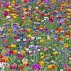 Jachère de fleurs