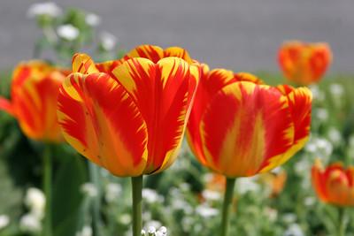 tulipe, tulipes, tulips, tulip