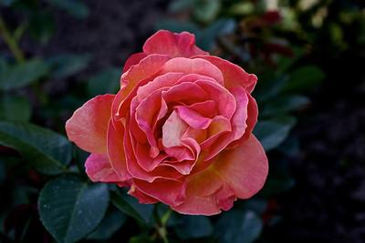"""Rose hybride de thé """" Elle """""""
