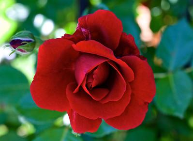 "Rose Kordési "" Sympathy """