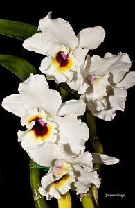 Orchidée 2010-03-28.tiff
