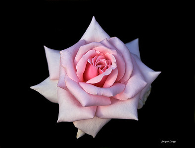 Rose 17 juin 2007