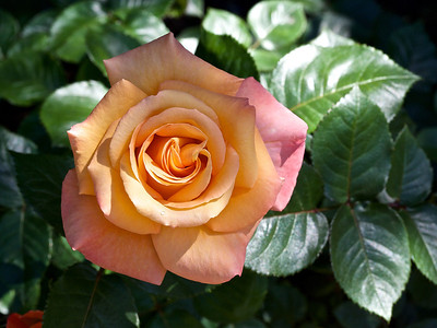 "Rosier floribunda "" Australian Gold"""