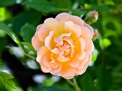 "Rosier Multiflora "" Ghyslaine Féligonde"""