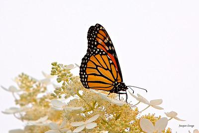 Hydrangé et papillon monarque.