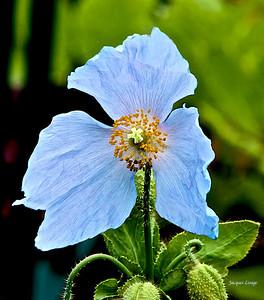 Pavot Bleu ou Méconopsis