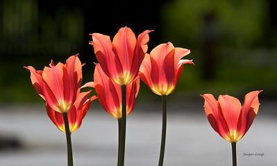 Tulipes de mon jardin, 2012-06-11.tiff