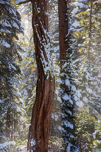 Cedar Tree_Snow_I66A1485_W