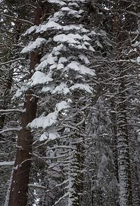 Snowey Pine_I66A1570_W