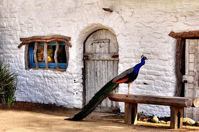 Peacock and Cantina Explore #429 April 429 April 17 2010