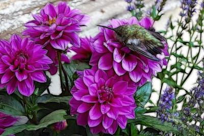 Explore # 93 May 11 2011 Hummingbird & Dahlias Fractured