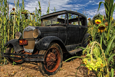 Old Truck in the Sunflower Maze Explore # 140  October 8 2013